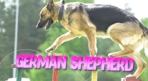 GERMAN SHEPHERD one of the Toughest Dog Breeds