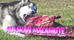 Alaskan malamute one of the Toughest Dog Breeds
