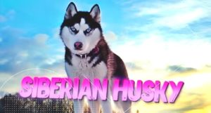 SIBERIAN HUSKY one of the toughest dog breeds